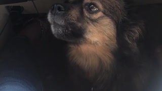 Brown dog howling under owners seat