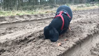 Dachshund digging up hidden cookies  - Video