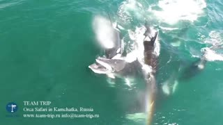 Dramatic Drone Video Shows Pod of Orcas Feasting on Minke Whale - Video