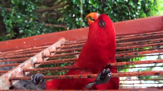 Close-up A Red Parrot