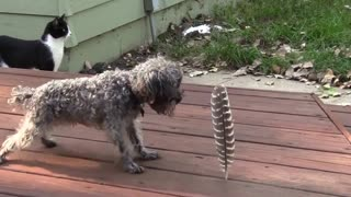 Little dog afraid of a big feather - Video