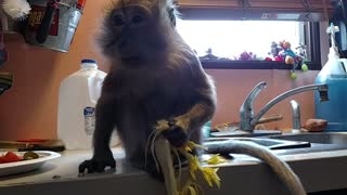 Monkey Munches Her Celery With Great Delight  - Video
