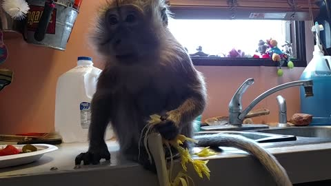 Monkey Munches Her Celery With Great Delight