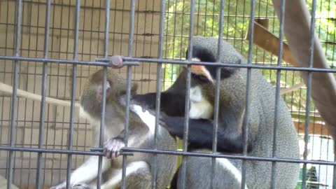 Youngster monkey is momentarily distracted while being groomed