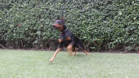 Forgiveness - Enrique Iglesias or this Doberman?