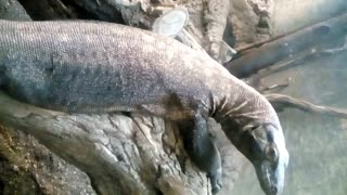Komodo Dragon at the Zoo  - Video