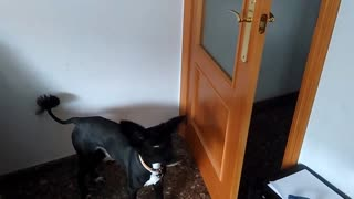 Dog closes door after being asked by owner