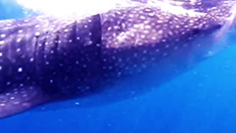 Snorkelers get into the water with a school of whale sharks