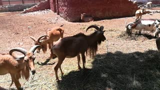 Funny African Barbary sheep Moves Her Tail While Eating