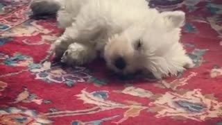 Westie puppy has very vivid dream - Video