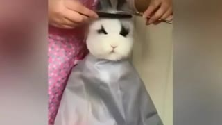The hostess gives a haircut to the rabbit
