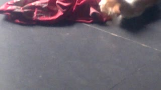 Kittens playing together - Video