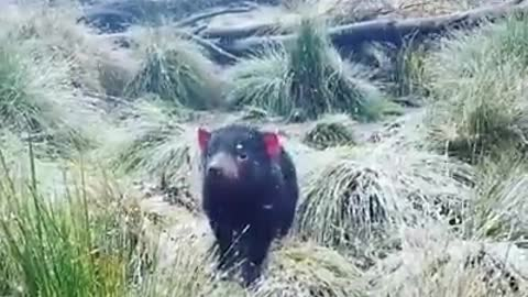Tasmanian Devil doesn't seem to mind light snowfall