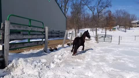 Friesian filly Tripoley at Friesdale farms