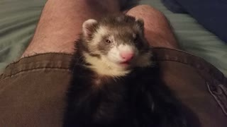 Sleepy ferret can't keep his eyes open - Video