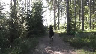 German Shepherd action  - Video