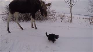 Wild moose calf attempts to befriend hesitant cats - Video