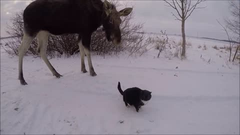 Emma The Moose Attempts To Befriend Hesitant Cats