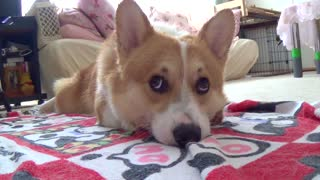 Adorable corgi drying himself off after bath - Video