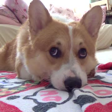 Adorable corgi drying himself off after bath rumble for R f bathrooms and kitchens