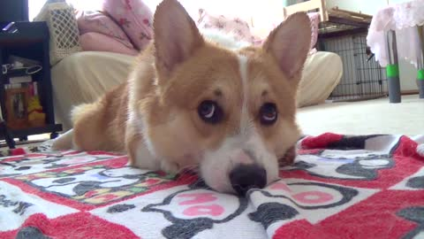 Adorable corgi drying himself off after bath