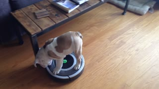 Chubby Puppy Helps His Owner Roomba The Place - Video