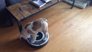 English Bulldog puppy rides a Roomba - Video