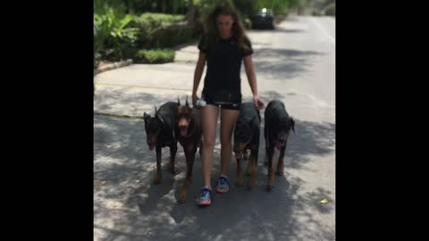 Unbelievably obedient Dobermans demonstrate vast array of skills
