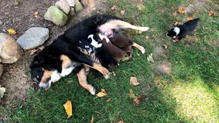 Puppy Litter Playing Outside with Mom