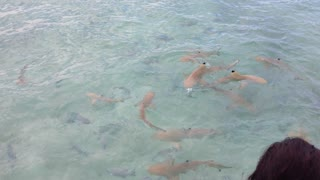 Baby shark feeding in the Maldives - Video