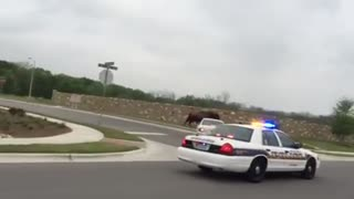 Incredible Footage Of A Police Car Chasing Escaped Buffalo In Texas - Video