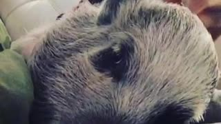 Grumpy mini pig doesn't like to be pet during nap time - Video