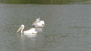 Hungry Pelicans at Irvine Lake in Southern California - Video