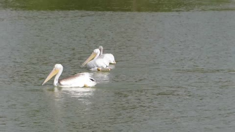 Hungry Pelicans at Irvine Lake in Southern California