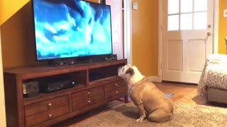 Bulldog comes running to watch her favorite commercial - Video