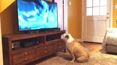 Bulldog comes running to watch her favorite commercial
