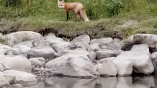 fox near the river