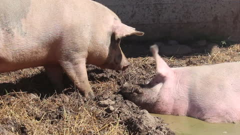 Pig gets mad when another tries to join in the mud pit