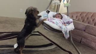 Loving dog gently rocks baby cradle - Video