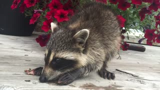 Adorable rescue raccoon eating strawberries - Video