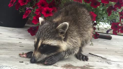 Adorable rescue raccoon eating strawberries