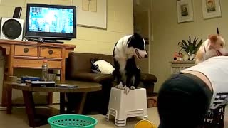 Border Collie plays with owner like a human child - Video