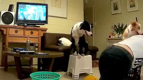 Border Collie plays with owner like a human child