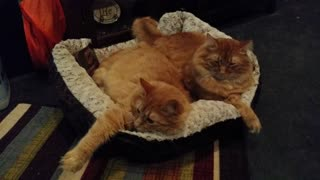 Kitty brothers share cat bed - Video