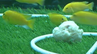 Fish kick off their own World Cup - Video