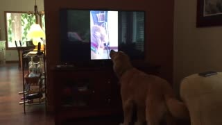 Family dog sings duet with himself on TV - Video