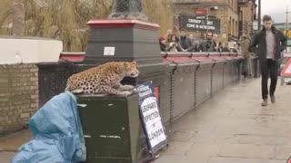 APRIL FOOL! Leopard Prank Had Everyone Scared - Video