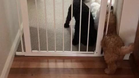 Puppy easily slips through doggy gate