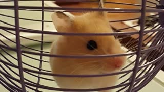 Cutest hamster alive goes for adorable wheel run - Video