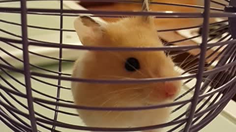 Cutest hamster alive goes for adorable wheel run